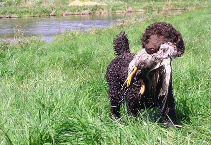 hair cuts poodles fooled people missing finest dog breeds puppies ...